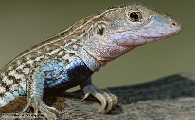 Whip-tailed lizard parthenogenesis asexual reproduction